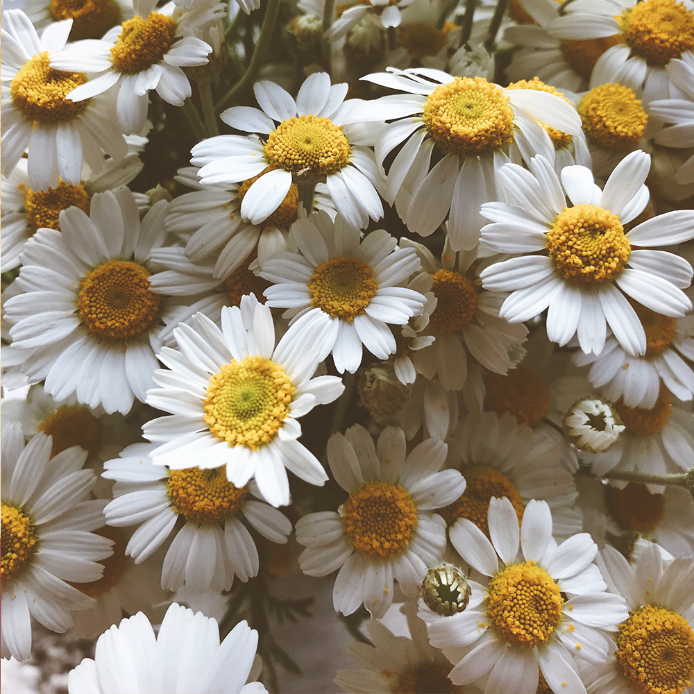 german chamomile flower extract_edited