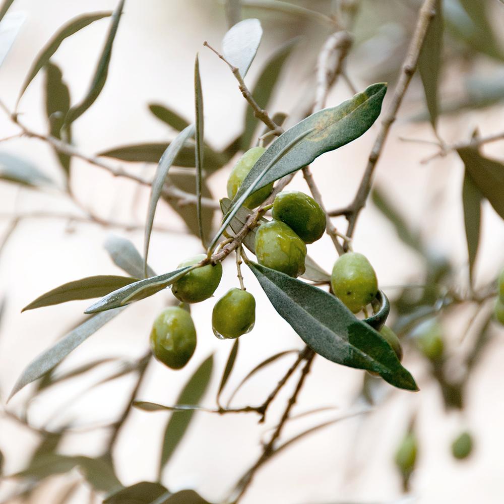 olive leaf extract_edited