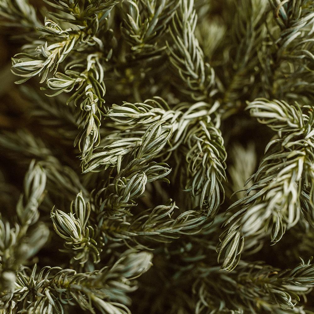 rosemary leaf extract_edited